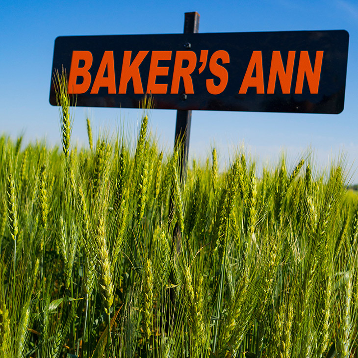 The art and science of naming a wheat variety   News And