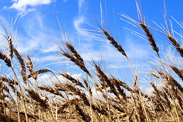 Oklahoma wheat producers expecting modest returns after a tough year