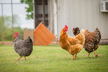 Register now to attend OSU Small Flock Poultry Expo