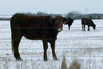 Calculation of livestock's winter feed needs a must for cow-calf producers