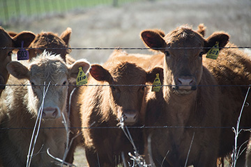 Register now to attend Oct. 25 OSU Beef Industry Conference and companion field day
