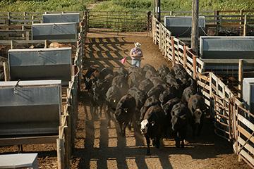 First decrease in cattle feedlot inventories in 33 months
