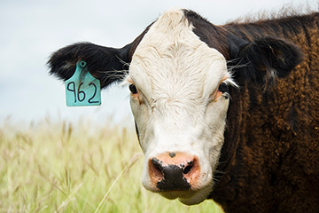 Mineral feeding protocols key for beef cows on lush forage this fall and winter