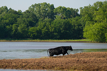 Cattle producers should watch for signs of blackleg and anthrax after floodwaters recede