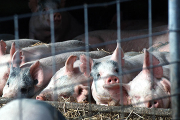 African Swine Fever to impact global protein markets for years