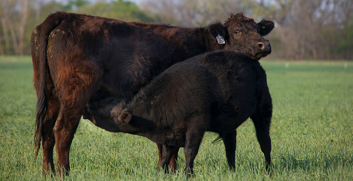 Cow-calf producers may find two-stage weaning process useful