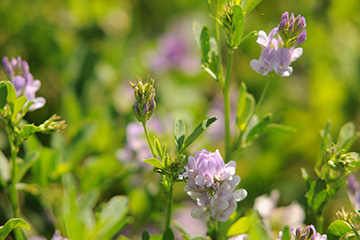 Oklahoma State University recommendations maximize alfalfa field productivity