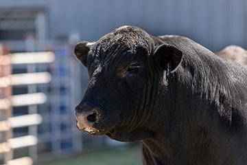 Bulls need to be ready for breeding season