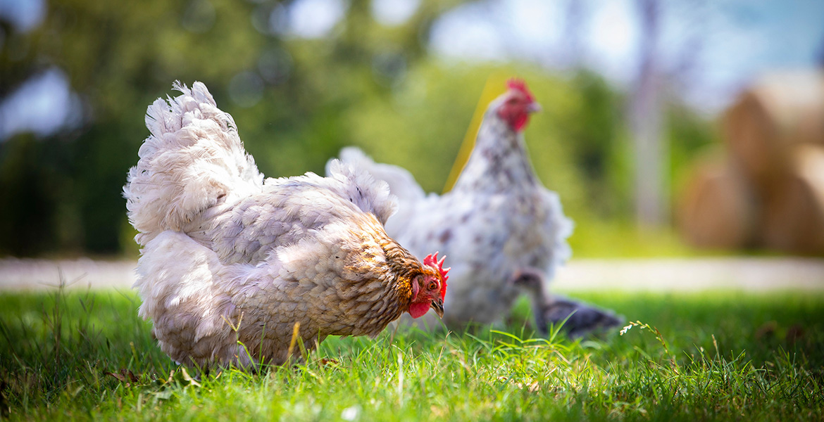 Photo of chickens in a backyard poultry operation.