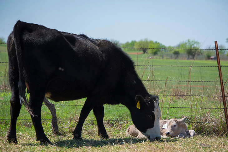 Photo of black baldy cow nosing her newborn calf on the ground.
