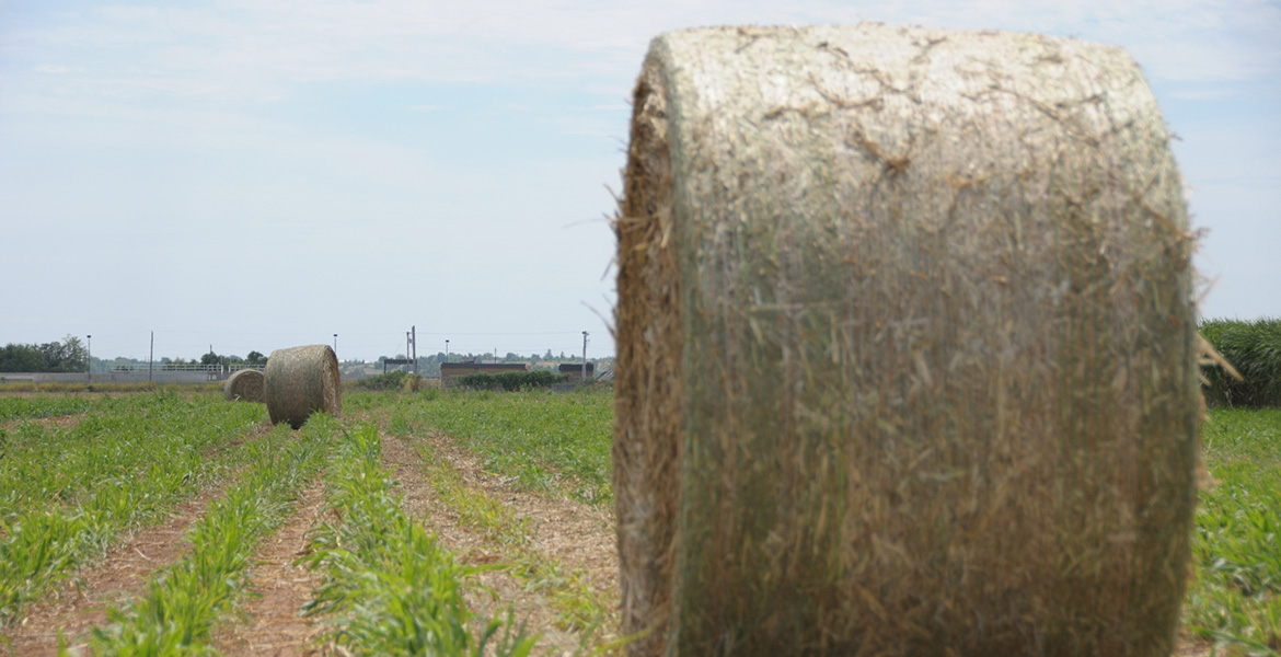 Photo of a round bale of forage sorghum hay.