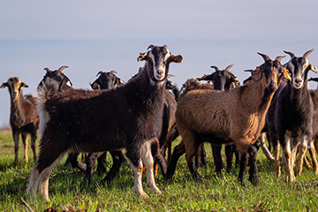 Oklahoma State webinar to focus on CFAP 2 eligibility for sheep and goat producers