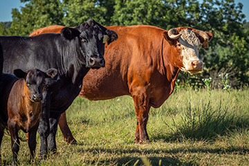 Producers should follow recommended veterinary practices for dehorning cattle
