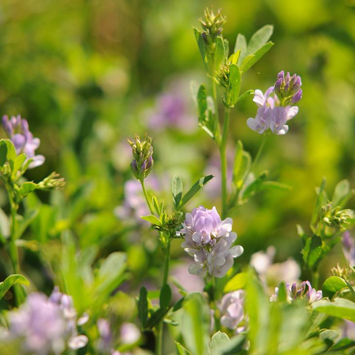 Oklahoma State University Recommendations Maximize Alfalfa