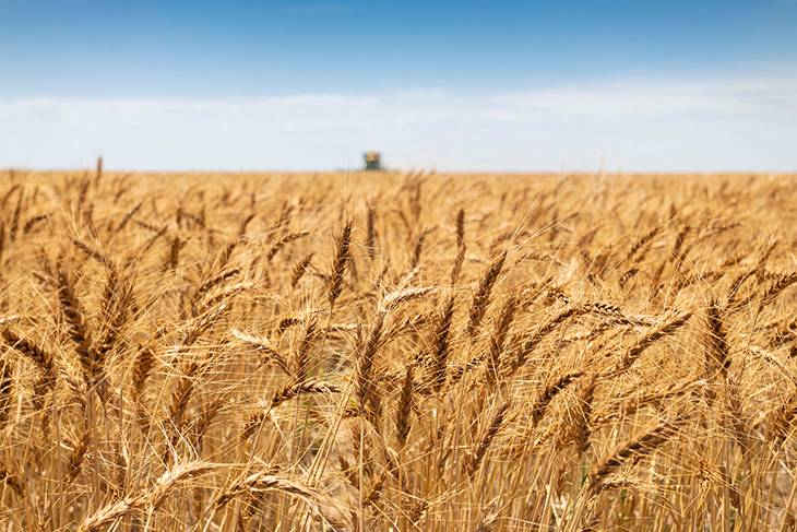 Photo of golden wheat against a blue sky.