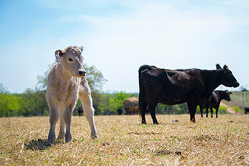 OSU survey targets key elements of beef cattle production