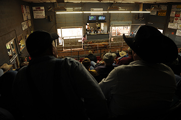 Shortened breeding season for cattle provides marketing benefits