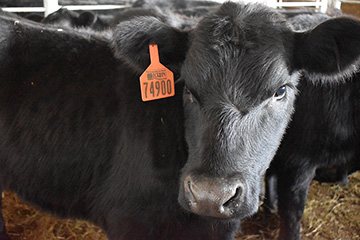 Weaning dates set for Oklahoma Quality Beef Network fall sales