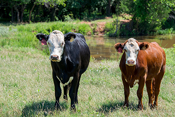 Pregnancy checking replacement heifers helps protect producer investment