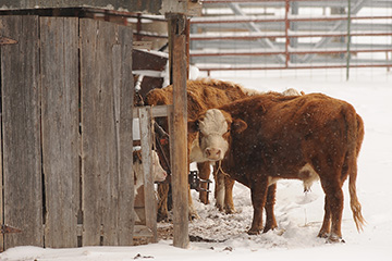 Mesonet offers management tools to help producers promote cattle comfort