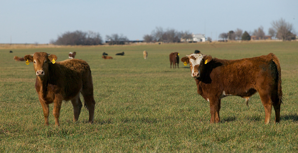 Photo of stocker cattle grazing a pasture.
