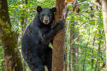 Research is finding solutions for human/black bear coexistence