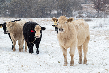Beef industry to largely weather the effects of mid-February snowstorms