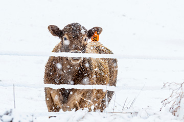 Cattle needs rise as temperatures drop