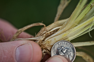 Producers of dual-purpose wheat should check for first hollow stem stage