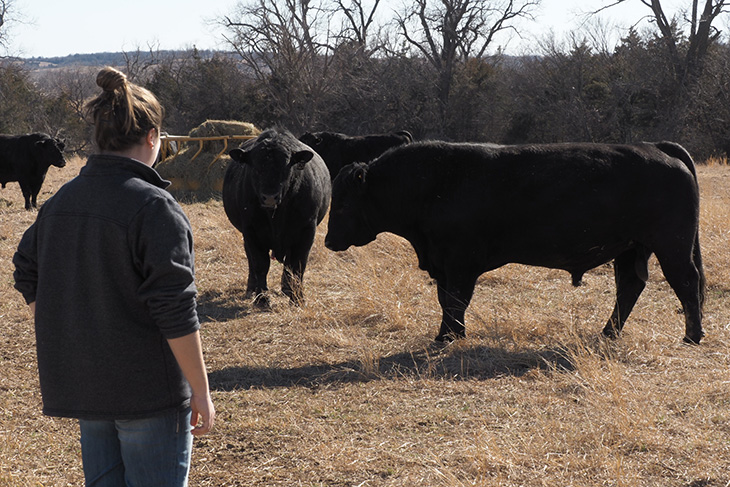 Photo of woman evaluating Angus bulls.