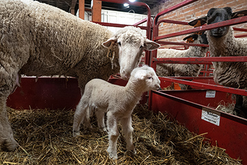 New lamb protection during wintertime explained