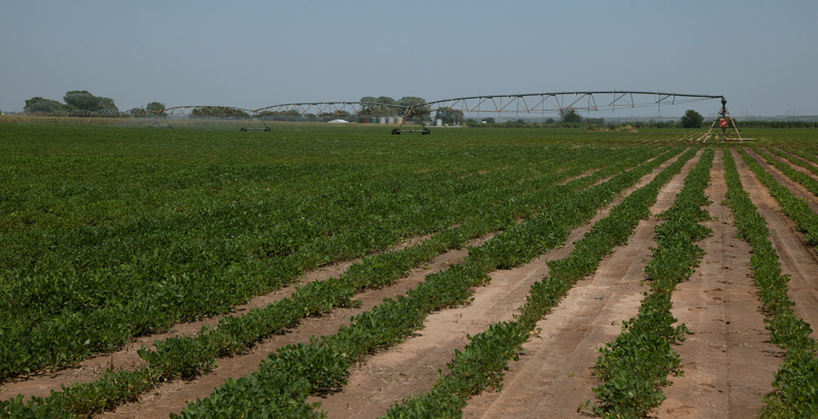 Photo of a field of peanuts being irrigated.
