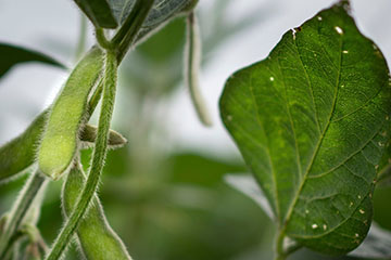 Insect control key to successful double-crop soybean management