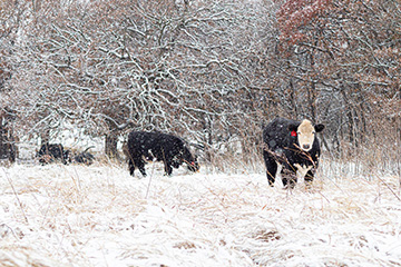 FSA disaster relief available for livestock deaths in winter storm