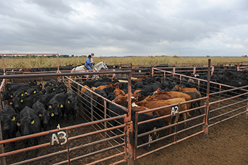 Cattle producers lunchtime series launches
