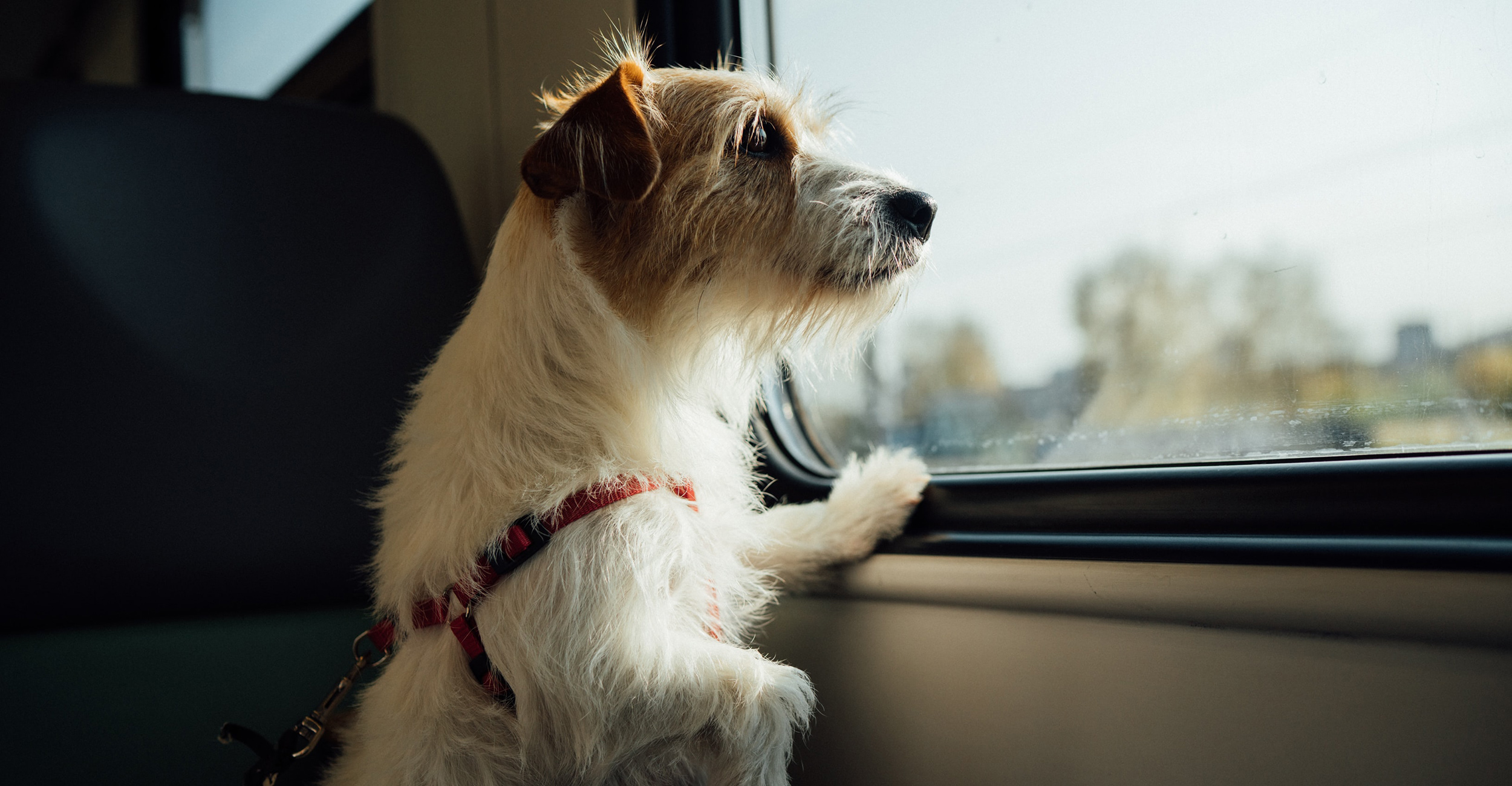 Picture of dog looking out car window.