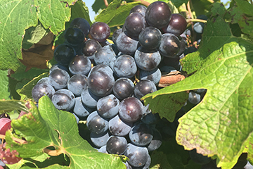 OSU Extension's Grape Management Course to begin March 5