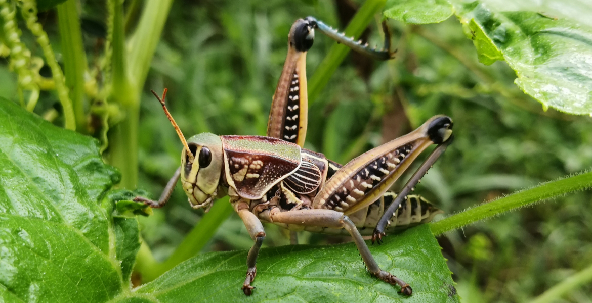 Getting a leg up on grasshoppers in the landscape