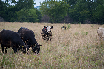 Beef cattle nutrients enter new seasonal concerns