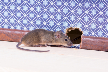 There's a mouse in the house