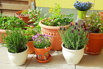 As the weather cools, prepare your plants to be moved indoors