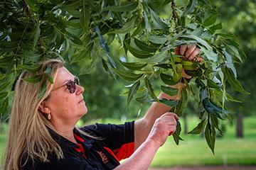 Pecan growers Zoom sessions return Feb. 12