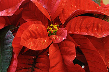 Holiday poinsettias add a splash of color to home décor