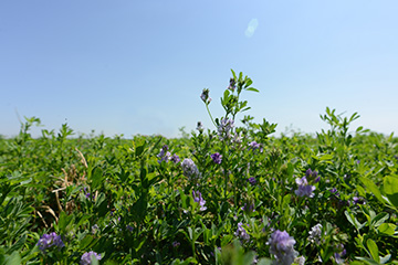Ranchers webinar series moves into alfalfa