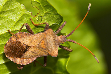 Squash bugs can put a damper on successful gardening
