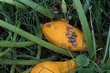 Squash bugs put damper on successful gardening