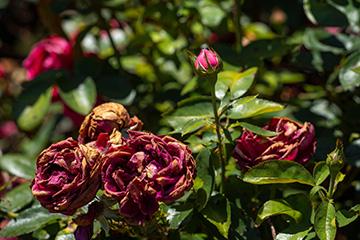Deadheading helps keep plants vigorous