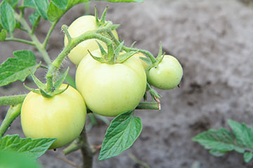Ripening tomatoes indoors extends fresh flavor longer