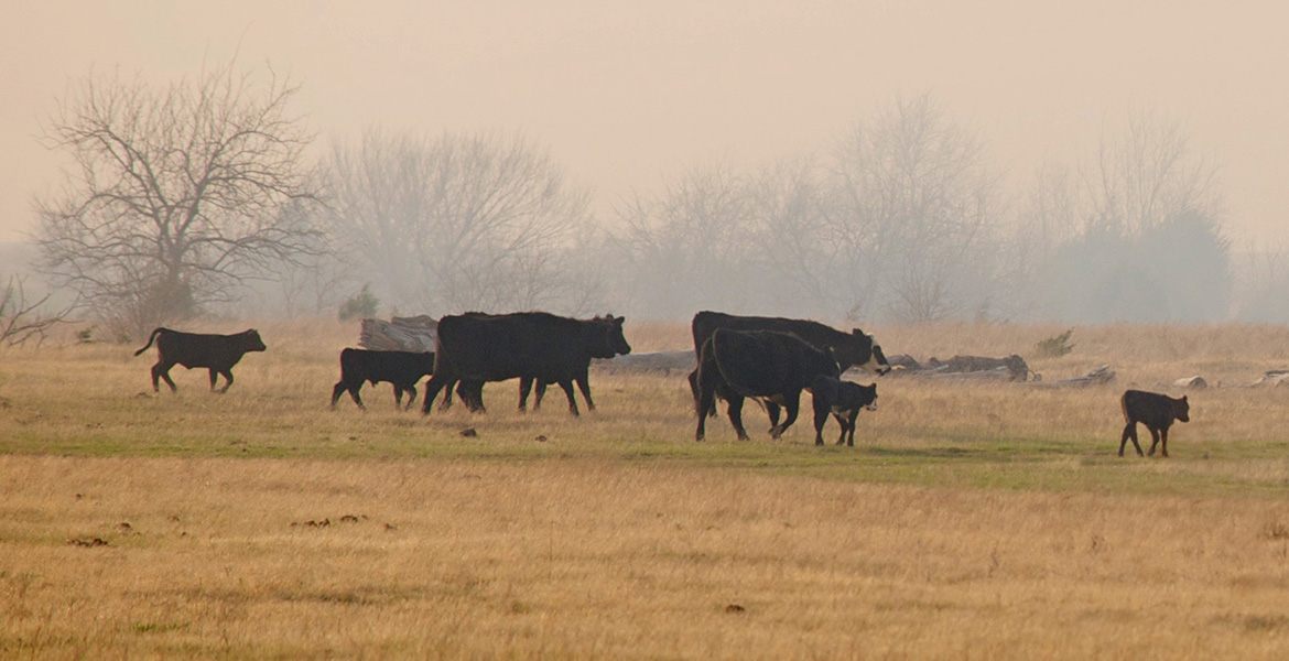 Be Aware Of Livestock Trauma After A Wildfire News And Information Oklahoma State University