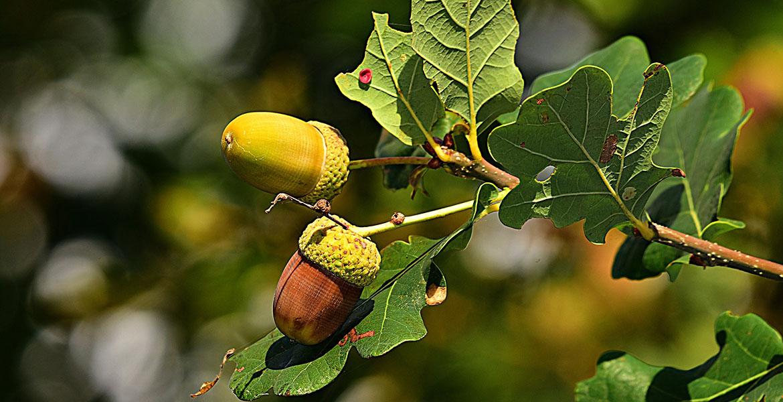 Acorn on tree